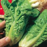 Little Gem Lettuce 100 seeds - FREE POST